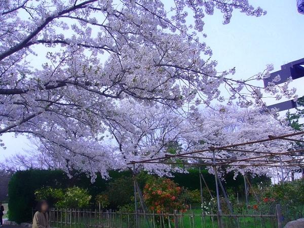 ユキツバキ園と桜