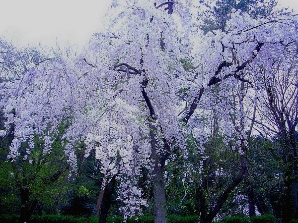 桜1(じゅんさい池)
