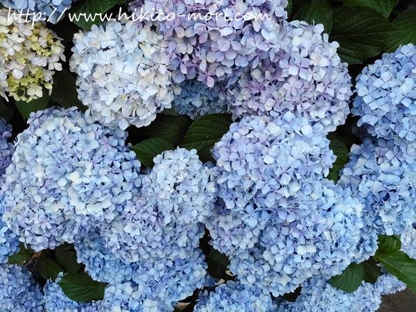青紫の紫陽花を接写