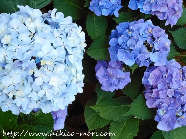 白っぽい青紫の紫陽花の接写