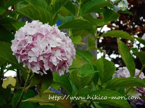 ピンクの紫陽花の接写