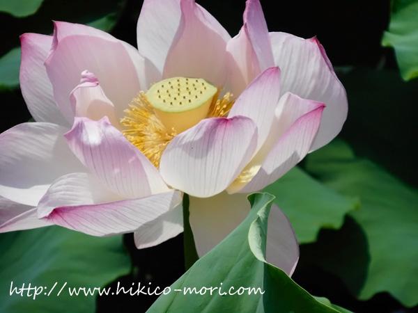 きれいに咲いた蓮