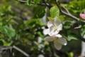 りんごの木(4)