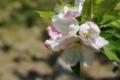 りんごの木(2)