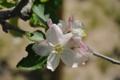 りんごの木(1)
