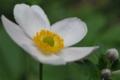 [白][花]アネモネ フペヘンシス