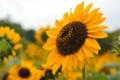 [ヒマワリ]向日葵