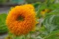 [花][黄][緑]テディーベア(1)