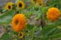 [花][黄][緑]テディーベア(2)