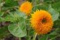 [花][黄][緑]テディーベア(3)