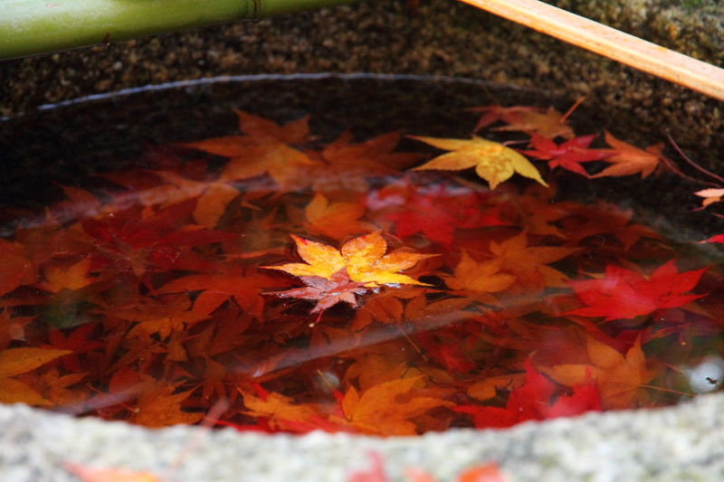 京都新聞写真コンテスト 手水鉢の中の紅葉