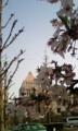 散りかけの桜越しに国会議事堂(←不吉な)