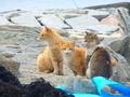 [猫島][青島][ねこだらけ][かわいい]3びき