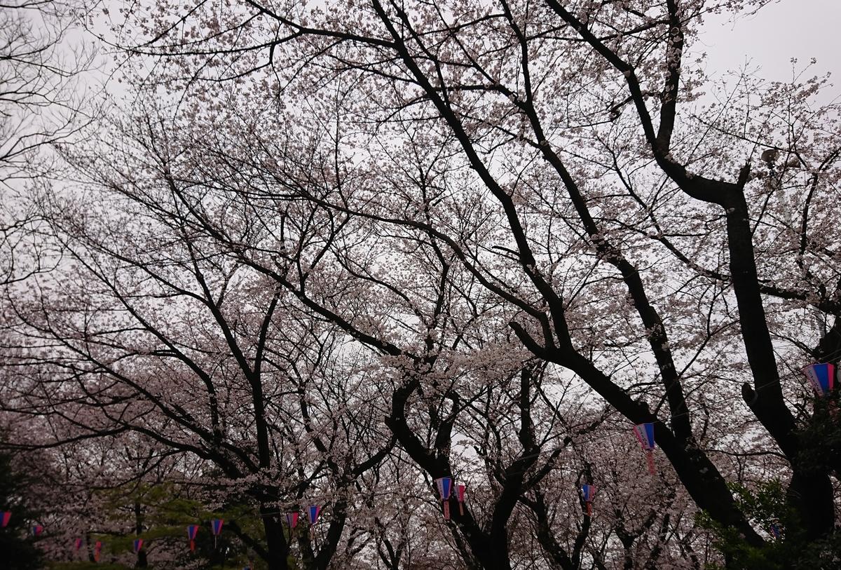 桜,2019,飛鳥山