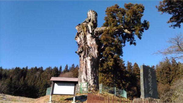 蓼科神社の神代杉