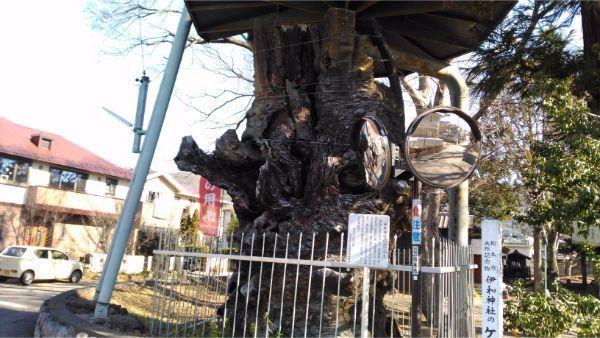 伊和神社のケヤキ