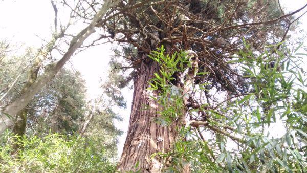 諏訪神社の神代杉