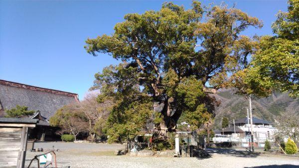 本遠寺のクスノキ