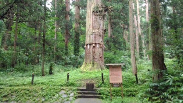 出羽三山神社爺杉