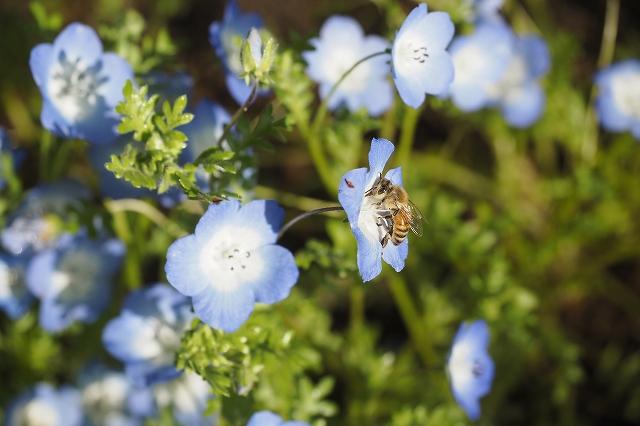 ネモフィラに止まるミツバチ