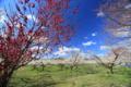 京都新聞写真コンテスト「青空の梅林公園」