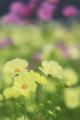 京都新聞写真コンテスト「可憐に美しく」