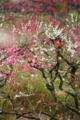 京都新聞写真コンテスト「色彩の梅林」