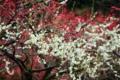 京都新聞写真コンテスト「燃える白梅」