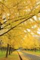 京都新聞写真コンテスト「銀杏並木」