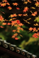 京都新聞写真コンテスト「見上げれば秋彩」