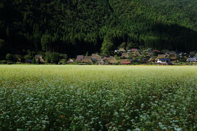 京都新聞写真コンテスト「満開の蕎麦畑」