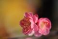 京都新聞写真コンテスト「春彩の紅梅」