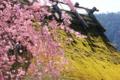 京都新聞写真コンテスト「苔むす春」