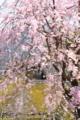 京都新聞写真コンテスト「枝垂れに茅葺」