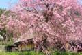 京都新聞写真コンテスト「降り注ぐ春」