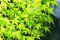 京都新聞写真コンテスト「若葉の輝き」」