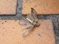 アビちゃんズに捕まえられた蛾