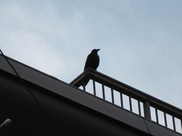 Crow: Abyssinian's enemy