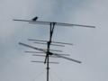 A little cuckoo, #2089