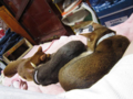 Abyssinian Sisters, #0469