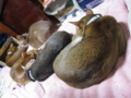 Abyssinian Sisters, #0478