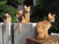 Abyssinian Sisters, #3412