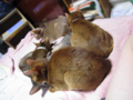 Abyssinian Sisters, #0559