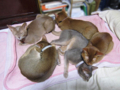 Abyssinian Sisters, #0563