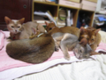 Abyssinian SIsters, #0564