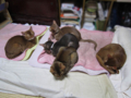 Abyssinian Sisters, #0618