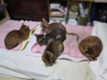 Abyssinian Sisters, #0619