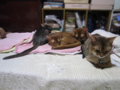 Abyssinian Sisters, #0730