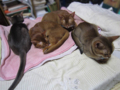 Abyssinian Sisters, #0731