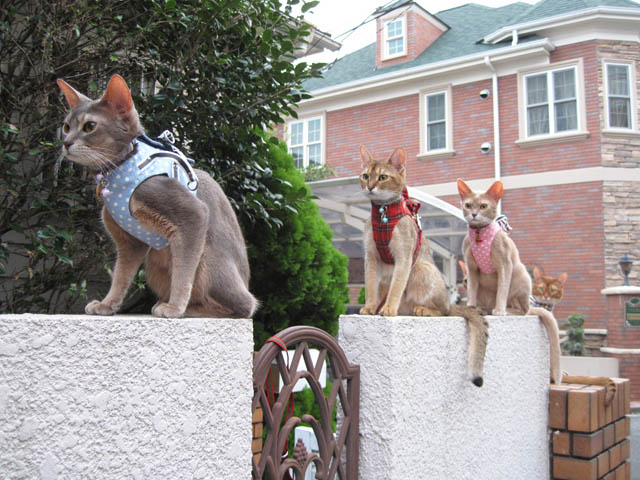 Abyssinian Sisters, #3557